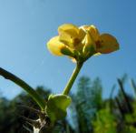 Christusdorn Bluete gelb Euphorbia milii 07