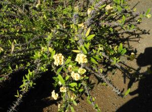 Christusdorn Bluete gelb Euphorbia milii 09
