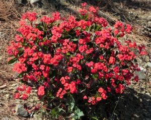 Christusdorn Bluete rot Euphorbia milii 02