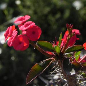Christusdorn Bluete rot Euphorbia milii 04