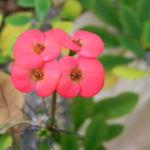 Christusdorn Bluete rot Euphorbia milii 06