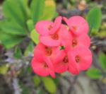 Christusdorn Bluete rot Euphorbia milii 08