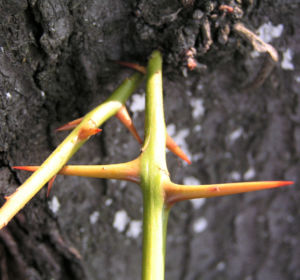 Christusdorn Gleditschie Dorn Blatt Gleditsia triacanthus 03
