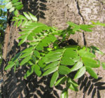 Christusdorn Gleditschie Dorn Blatt Gleditsia triacanthus 04