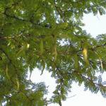 Bild: Amerikanische Gleditschie Dorn Frucht Hülse Blatt gelb grün Gleditsia triacanthos