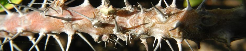 Anklicken um das ganze Bild zu sehen  Christusdorn Blüte gelb Euphorbia milii