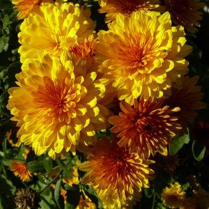 Chrysantheme gelb orange gefuellt Chrysanthemum 01
