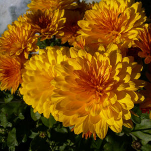 Chrysantheme gelb orange gefuellt Chrysanthemum 02
