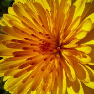 Chrysantheme gelb orange gefuellt Chrysanthemum 04