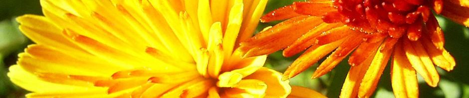 Anklicken um das ganze Bild zu sehen Chrysantheme gelb orange gefüllt - Chrysanthemum