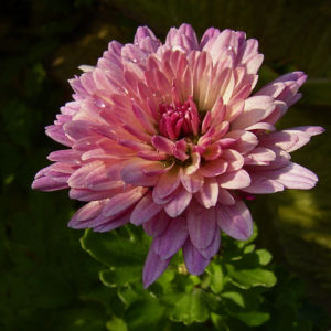 Chrysantheme hell pink gefuellt Chrysanthemum 01