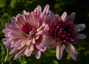 Chrysantheme hell pink gefuellt Chrysanthemum 02