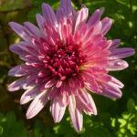 Chrysantheme hell pink gefuellt Chrysanthemum 03