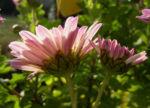 Chrysantheme hell pink gefuellt Chrysanthemum 04