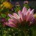 Zurück zum kompletten Bilderset Chrysantheme Blüte pink Chrysanthemum