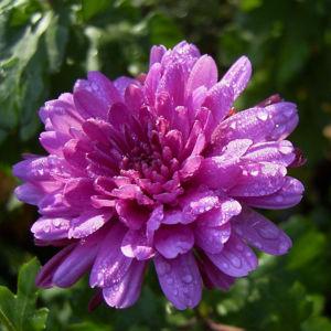 Chrysantheme hell pink gefuellt Chrysanthemum 09