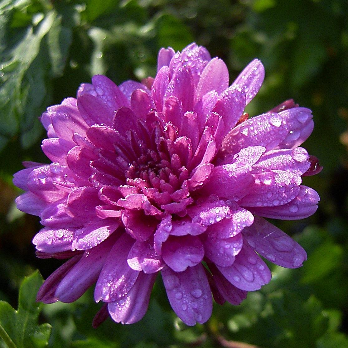 Chrysantheme hell pink gefuellt Chrysanthemum