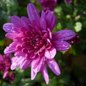 Chrysantheme hell pink gefuellt Chrysanthemum 10