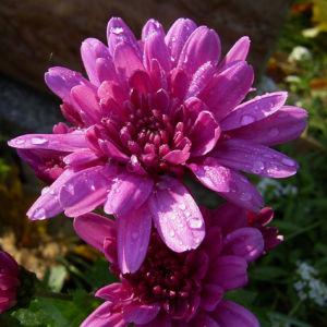 Chrysantheme hell pink gefuellt Chrysanthemum 11
