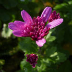 Chrysantheme hell pink gefuellt Chrysanthemum 12