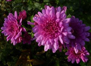 Chrysantheme hell pink gefuellt Chrysanthemum 14