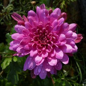 Chrysantheme hell pink gefuellt Chrysanthemum 15
