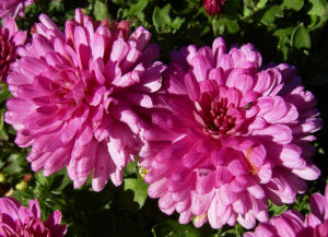 Chrysantheme pink gefuellt Chrysanthemum 01