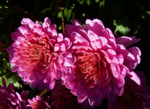 Chrysantheme pink gefuellt Chrysanthemum 02