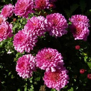 Chrysantheme pink gefuellt Chrysanthemum 03