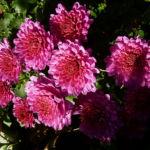 Chrysantheme pink gefuellt Chrysanthemum 04