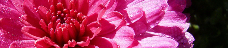 chrysantheme-pink-gefuellt-chrysanthemum