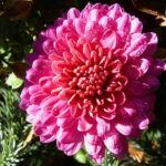 Chrysantheme pink gefuellt Chrysanthemum 06