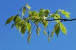 Cissusblaettriger Ahorn Blatt gruen Acer cissifolium 03