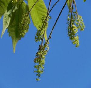 Bild: Cissusblaettriger Ahorn Blatt gruen Acer cissifolium