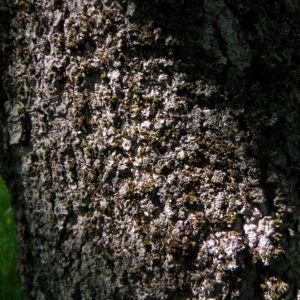 Cissusblaettriger Ahorn Rinde grau Acer cissifolium 01