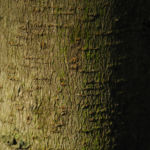 Cissusblatt Ahorn Baum Bluete gruenlich Acer cissifolium 11