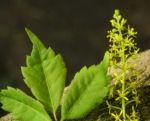 Cissusblatt Ahorn Baum Bluete gruenlich Acer cissifolium 15