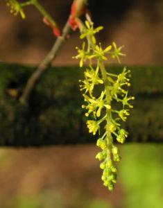 Cissusblatt Ahorn Baum Bluete gruenlich Acer cissifolium 17