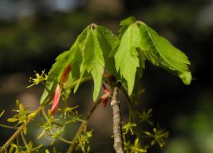 Cissusblatt Ahorn Baum Bluete gruenlich Acer cissifolium 22