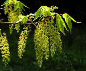 Cissusblatt Ahorn Baum Bluete gruenlich Acer cissifolium 25
