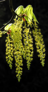 Cissusblättriger Ahorn Blüte grünlich Acer cissifolium