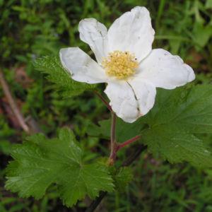 Colorado Himbeere Bluete weiss Rubus deliciosus 01