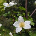Colorado Himbeere Bluete weiss Rubus deliciosus 02