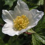 Colorado Himbeere Bluete weiss Rubus deliciosus 03