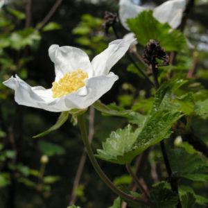 Colorado Himbeere Bluete weiss Rubus deliciosus 04