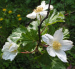 Colorado Himbeere Bluete weiss Rubus deliciosus 06