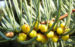 Zurück zum kompletten Bilderset Kolorado-Tanne Baum Kospe Abies concolor