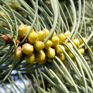 Colorado Tanne Baum Kospe Abies concolor 02