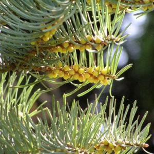 Colorado Tanne Baum Kospe Abies concolor 05