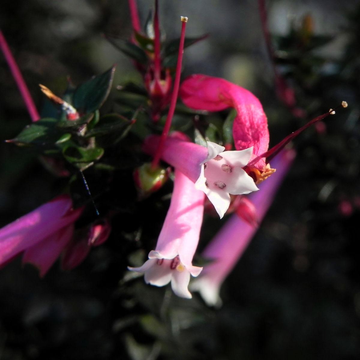 Common Heath Australheide Bluete pink Epacris impressa